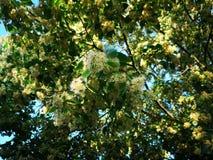Flor do Linden na árvore fotos de stock