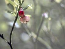 Flor do Lingonberry ao fim de maio fotos de stock royalty free