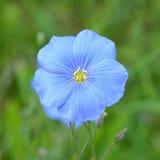 Flor do linho, usitatissimum de Linum Fotografia de Stock Royalty Free