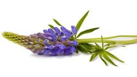 Flor do Lupine Foto de Stock Royalty Free