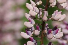Flor do Lupine com máscaras diferentes do rosa Fotos de Stock Royalty Free