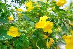 Flor do lutea do Cordia no ramo e no fundo borrados das folhas imagem de stock royalty free
