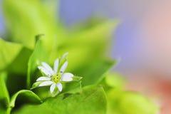 Flor do macro da mola Foto de Stock Royalty Free