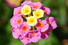Flor do macro de Candytuft Fotos de Stock Royalty Free