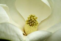 Flor do Magnolia Imagem de Stock Royalty Free