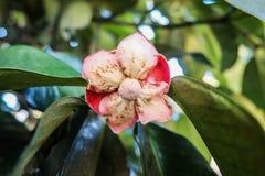 Flor do mangustão da flor Fotografia de Stock Royalty Free