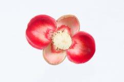 Flor do mangustão no fundo branco Imagem de Stock