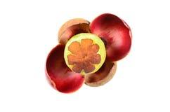 Flor do mangustão no fundo branco Imagens de Stock
