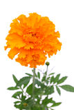 Flor do Marigold Fotos de Stock