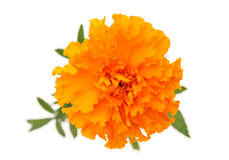 Flor do Marigold Foto de Stock Royalty Free