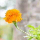 Flor do Marigold foto de stock