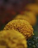 Flor do Marigold Imagem de Stock