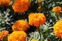 Flor do Marigold Imagem de Stock Royalty Free
