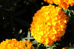 Flor do Marigold Fotografia de Stock Royalty Free