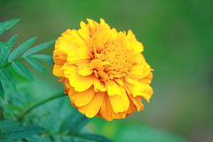 Flor do Marigold Imagens de Stock Royalty Free