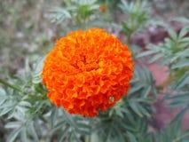 Flor do Marigold Imagens de Stock