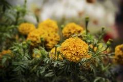 Flor do Marigold Fotografia de Stock