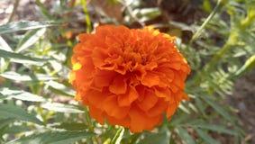 Flor do Marigold fotos de stock royalty free