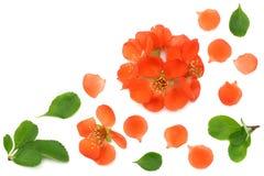 flor do marmelo isolada no fundo branco Flores vermelhas Vista superior com espaço da cópia Fotos de Stock Royalty Free