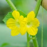 Flor do melão foto de stock
