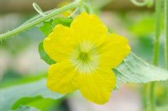 Flor do melão fotografia de stock royalty free