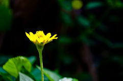 Flor do Melampodium Imagens de Stock Royalty Free