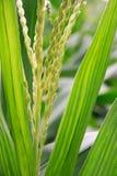 Flor do milho Imagens de Stock