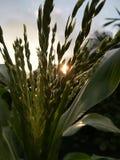 Flor do milho na manhã Fotografia de Stock