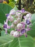 Flor do Milkweed Imagem de Stock