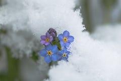Flor do miosótis na neve Imagem de Stock Royalty Free
