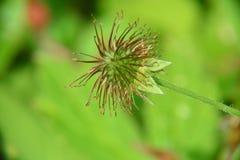 Flor do morango silvestre Fotos de Stock