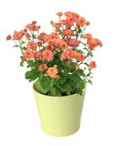 Flor do Mum Imagens de Stock Royalty Free