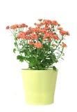 Flor do Mum no vaso Fotografia de Stock