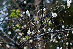 Flor do mume do Prunus na filial imagens de stock royalty free