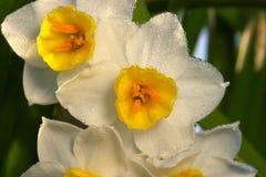Flor do narciso Fotografia de Stock Royalty Free
