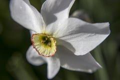 Flor do narciso Imagens de Stock
