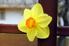 Flor do narciso amarelo Imagem de Stock Royalty Free