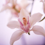 Flor do narciso amarelo Foto de Stock Royalty Free