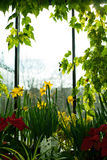 Flor do narciso amarelo Fotos de Stock Royalty Free