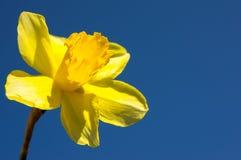 Flor do narciso amarelo da mola isolada Fotos de Stock
