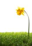 Flor do narciso amarelo e vidro verde fresco no fundo branco Foto de Stock