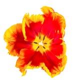 Flor do narciso amarelo na opinião branca de olho de pássaro Imagem de Stock