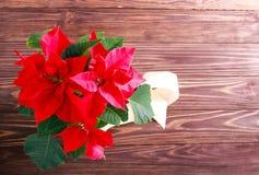 Flor do Natal - poinsétia imagens de stock