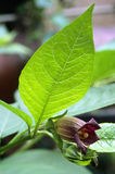 Flor do Nightshade mortal (beladona da atropa) Fotografia de Stock Royalty Free