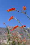 Flor do Ocotillo imagem de stock