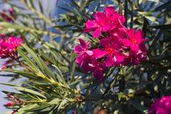 Flor do Oleander Imagem de Stock