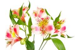 Flor do orhcid da filial com as folhas no branco Fotos de Stock Royalty Free