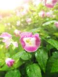 Flor do ossinho da sorte Imagens de Stock
