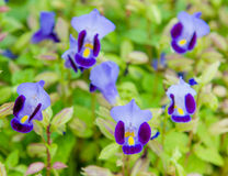 Flor do ossinho da sorte, Bluewings, Torenia Fotos de Stock Royalty Free
