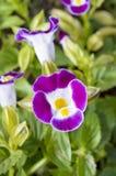 Flor do ossinho da sorte (Torenia Fournieri Lindl) fotografia de stock royalty free